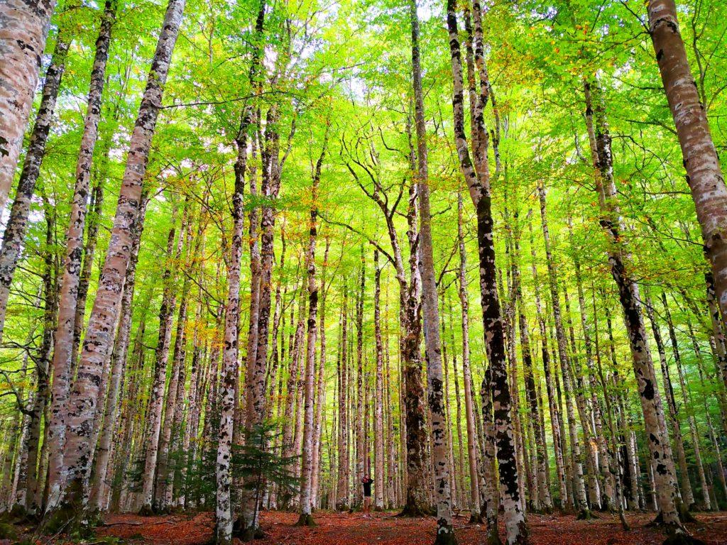 オルデサ・イ・モンテ・ペルディード国立公園 ブナの原生林